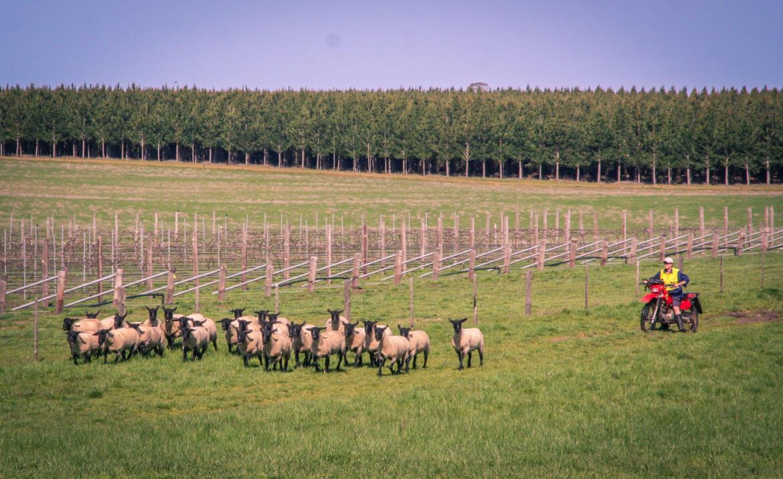herding-sheep-1.jpg