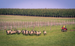 We do love our sheep as well as our vines!