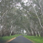 The archway of gums that frame our road